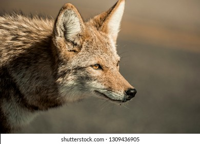Wild american coyote in the desert of California. Isolated close up.