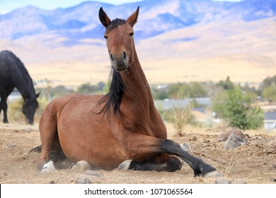 Wild American Mustang chestnut mare laying down in in the dusty Sierra Nevada desert with the Virginia ranges in the background, facing camera closeup
