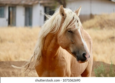 A wild American stallion mustang horse Palomino cross with tangled knotted mane in the high Sierra area of Nevada, roaming  in a rural residential area, likely part of the Virginia Ranges band/herd