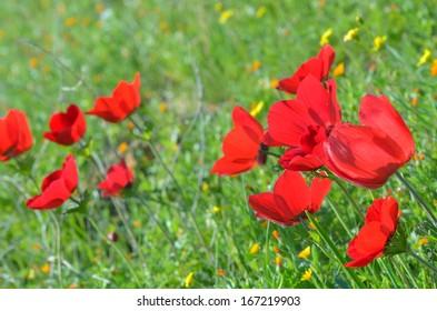 Wild Anemone flowers (Anemone coronaria) in spring desert