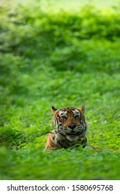 Wild Angry male tiger in monsoon full natural or nature green background during monsoon safari to buffer zone at ranthambore national park or tiger reserve, rajasthan, india - panthera tigris tigris
