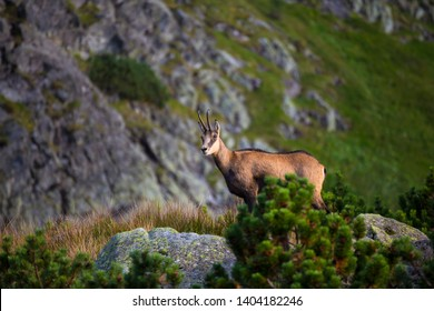 Wild animal:  Chamois , Kamzik ( Rupicapra rupicapra ) , species of goat-antelope in Tatra Mountains in the natural environment close up. Animal in the Tatras nature, Slovakia, Europe