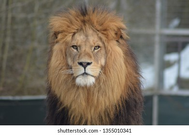 Wild animal Lion in zoo