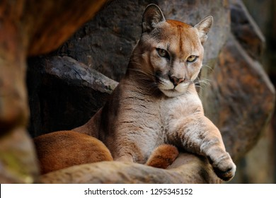 Wild animal in the mountain. Wild big cat Cougar, Puma concolor, hidden portrait of dangerous animal with stone, USA. Wildlife scene from nature. Mountain Lion in rock habitat.