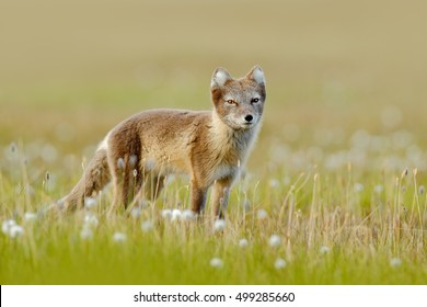 Wild animal from Norway. Arctic Fox, Vulpes lagopus, in the nature habitat with flowers, Svalbard, Norway. Beautiful animal in the bloom field. Wildlife action scene from Norway.