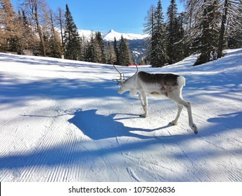 Wild animal reindeer walking alone on a ski slope  in Italy Kronplatz ski resort in winter, near reindeer farm. Beautiful snow and blue sky with snowy mountains is making the area.