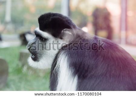 wild animal resting zoo black monkey stock photo edit now