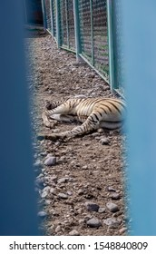 A wild animal Zebra lies on the ground in a zoo cage. Zebra tired tortured sleeping in captivity in a cage.