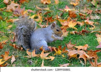 Wild animals, Gray Squirrel (Sciurus carolinensis) collects nuts in the park