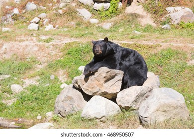 Wild animals in the Rocky Mountains of Canada. Magnificent huge black bear resting on white rocks on a sunny day