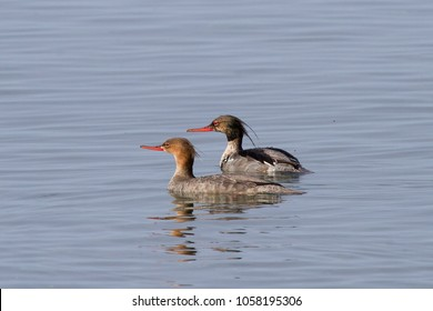 Wild animals of Sibera, Russia. Red-breasted Merganser (Mergus serrator)