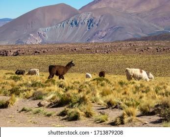 Wild animals in the surroundings of San Pedro de Atacama