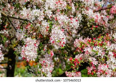 Wild Apple tree blossom. Spring background with Apple tree flowers. Malus floribunda, common name Japanese flowering crabapple, Japanese crab, purple chokeberry, or showy crabapple