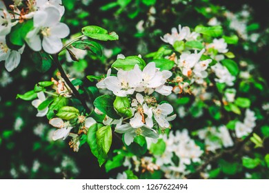 Wild apple tree and flowers blooming in the spring