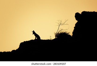 Wild Arabian fox sitting on rock silhouette
