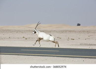 Wild Arabian Oryx (Maha) (Oryx leucoryx) running along the cycle track at Al Qudra in Dubai, United Arab Emirates with desert in the background.