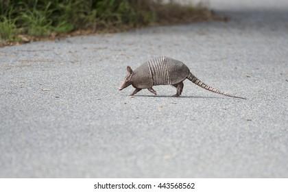 wild armadillo crossing a road in Florida