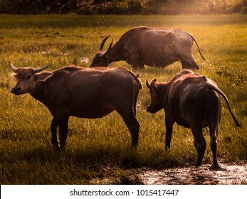 Wild Asian Buffaloes in local of Malaysia, also known as Wild Water Buffalo.
