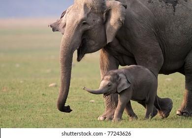Wild Asian elephant female and baby, Corbett National Park, India