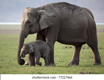 Wild Asian elephant mother and baby, Corbett National Park, India