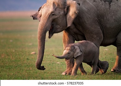 Wild Asian elephant mother and calf, Corbett National Park, India.