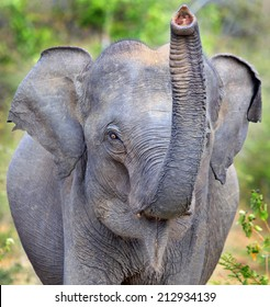 Wild Asian Elephant With Trunk Up