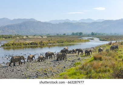 wild asian Elephants 'Elephus maximus' Crossing River Ramganga at Jim Corbett Tiger Reserve, Uttrakhand, India