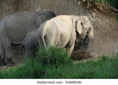 Wild asian elephants enjoy a salt lick in Kuiburi national park Thailand