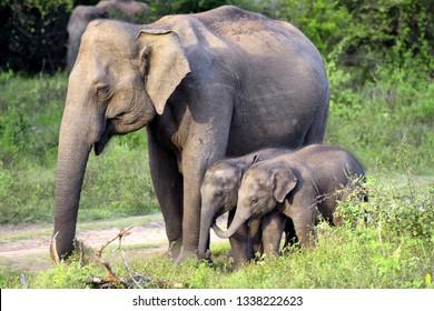 wild Asian elephants, mother and calfs  in Minneriya national park in Sri Lanka