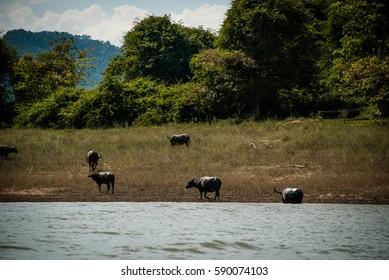Wild asian water buffalos at the river bank