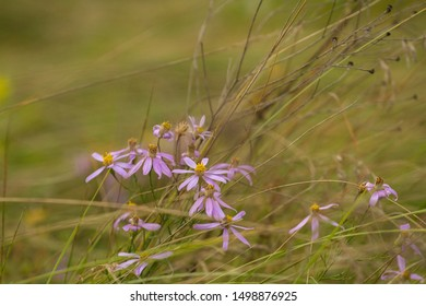 Wild asters on a background of dry grass