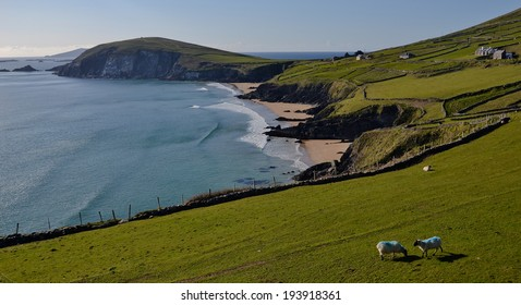 Wild Atlantic Way Coast, County Kerry(south west)Typical Irish Landscape, one of the most popular holiday tourist travel destinations in Ireland. Classic beautiful spring View of Dingle bay, sheep