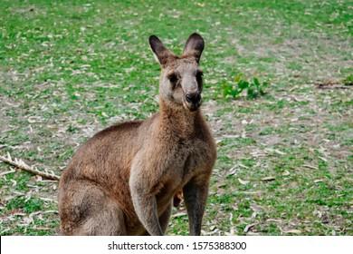 Wild Australian Kangaroos in natural habitat