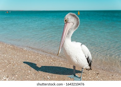 Wild Australian pelican resting on the shore of a sandy beach with turquoise waters of the Indian Ocean in the background. Moneky Mia, Western Australia