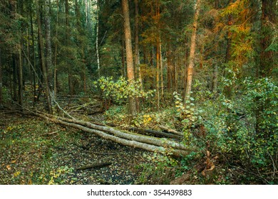 Wild autumn forest. Fallen trees in forest reserve at sunset.