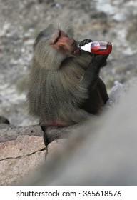 Wild baboon drinking stolen drink on mountain