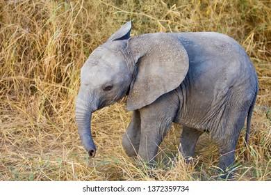 Wild baby African elephant