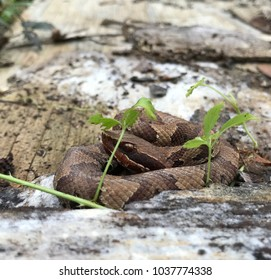 Wild baby cottonmouth