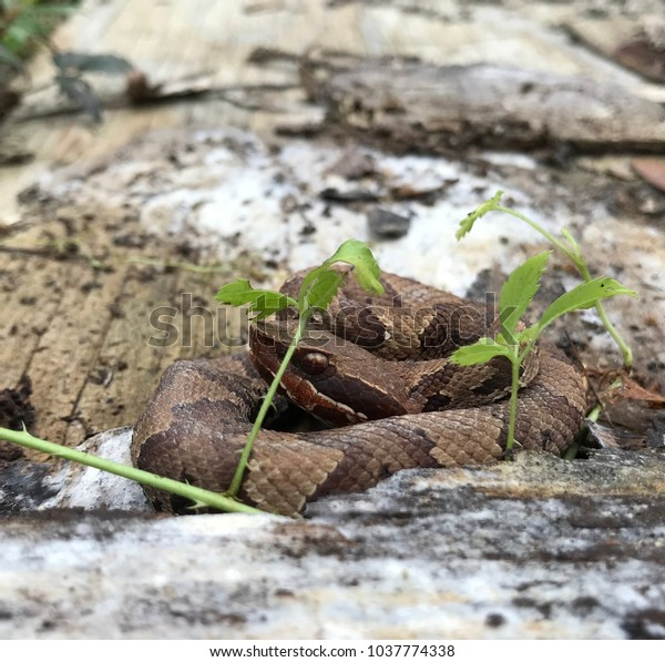 Baby Cottonmouth