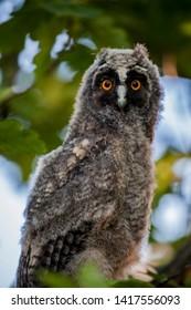 wild baby owl tree background