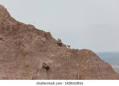 Wild baby sheep are camouflaged against the brown eroded formations in the Badlands National Park as they balance precariously on the steep incline to get up to their mother.
