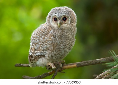Wild baby Tawny owl sitting on a branch