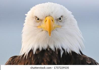Wild Bald Eagle portrait in Winter Alaska