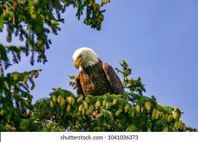 wild bald eagle in Sitka, Alaska
