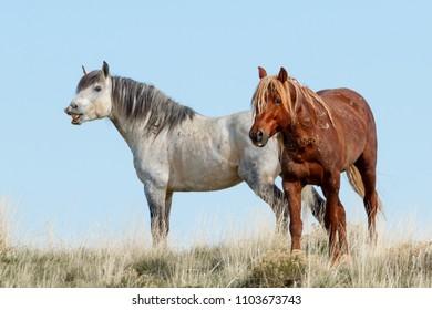 Wild Band Stallions