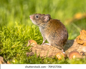 Wild Bank vole (Myodes glareolus) mouse posing on log on autumn scene forest floor with dead leaves and acorns