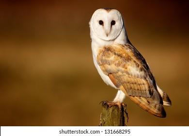 A wild barn owl