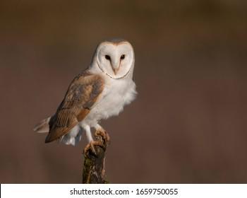 wild barn owl tyto alba