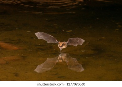 Wild bat photographed at night showing reflection
