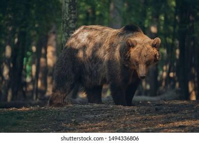 Wild bear inside the forest